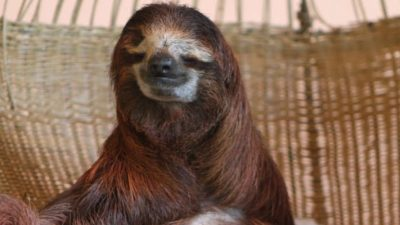 Sloth Sanctuary Rising Starlet: Buttercup