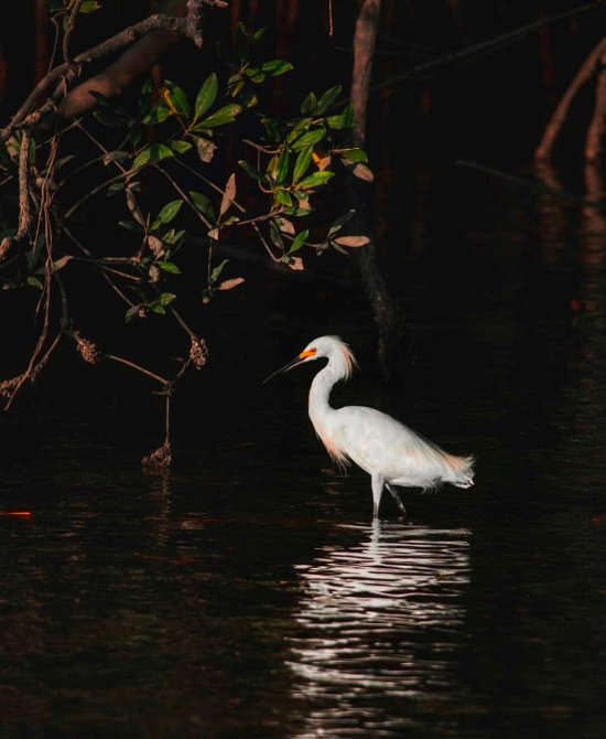 The elegant Snowy Egret via @mariela_cascante