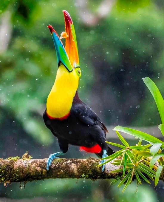 Keel-billed Toucan in Boca Tapada via @casijazz