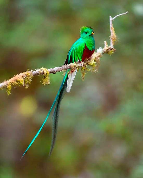 Resplendent Quetzal via @supreet_sahoo