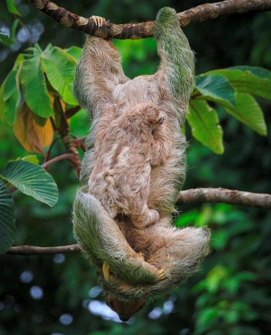 Cahuita National Park sloths